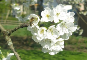 Kirsche mit Biene