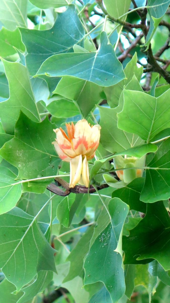 Tulpe vom Tulpenbaum
