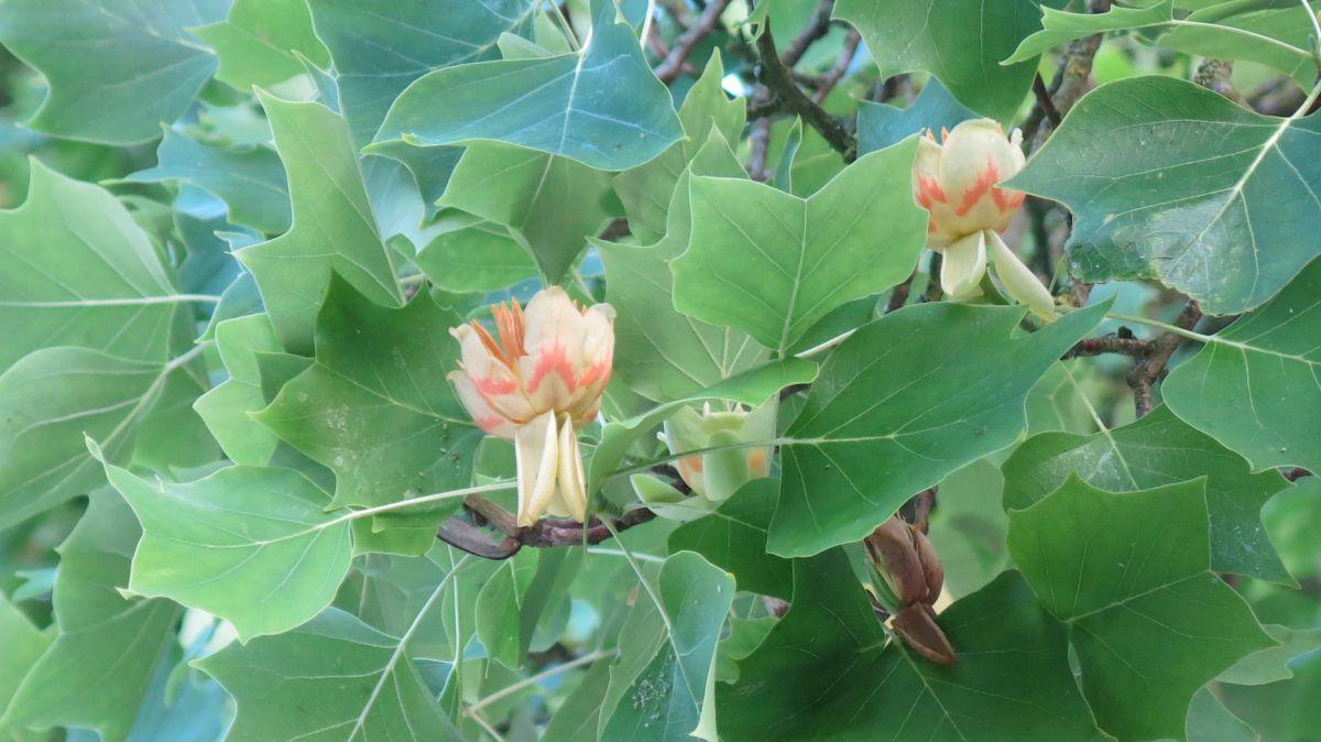 Tulpen vom Tulpenbaum